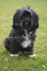 chien-noir-et-blanc-assis-dans-herbe-