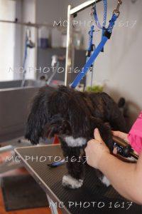 chien-noir-et-blanc-qui-se-fait-secher-poils-salon-toilettage-charente