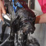chien-noir-mouille-qui-se-fait-nettoyer-cognac-charente