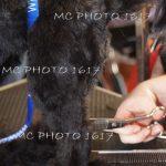 ciseaux-qui-coupent-poils-de-chien-noir-sur-une-table-cognac-charente