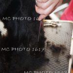 photo-ou-on-voit-qu-on-coupe-poils-chien-noir-aux-ciseaux-cognac-charente