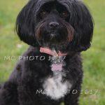 portrait-chien-noir-et-blanc-apres-toilettage-charente